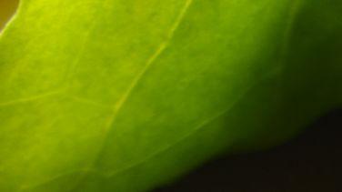 Lettuce Bundles